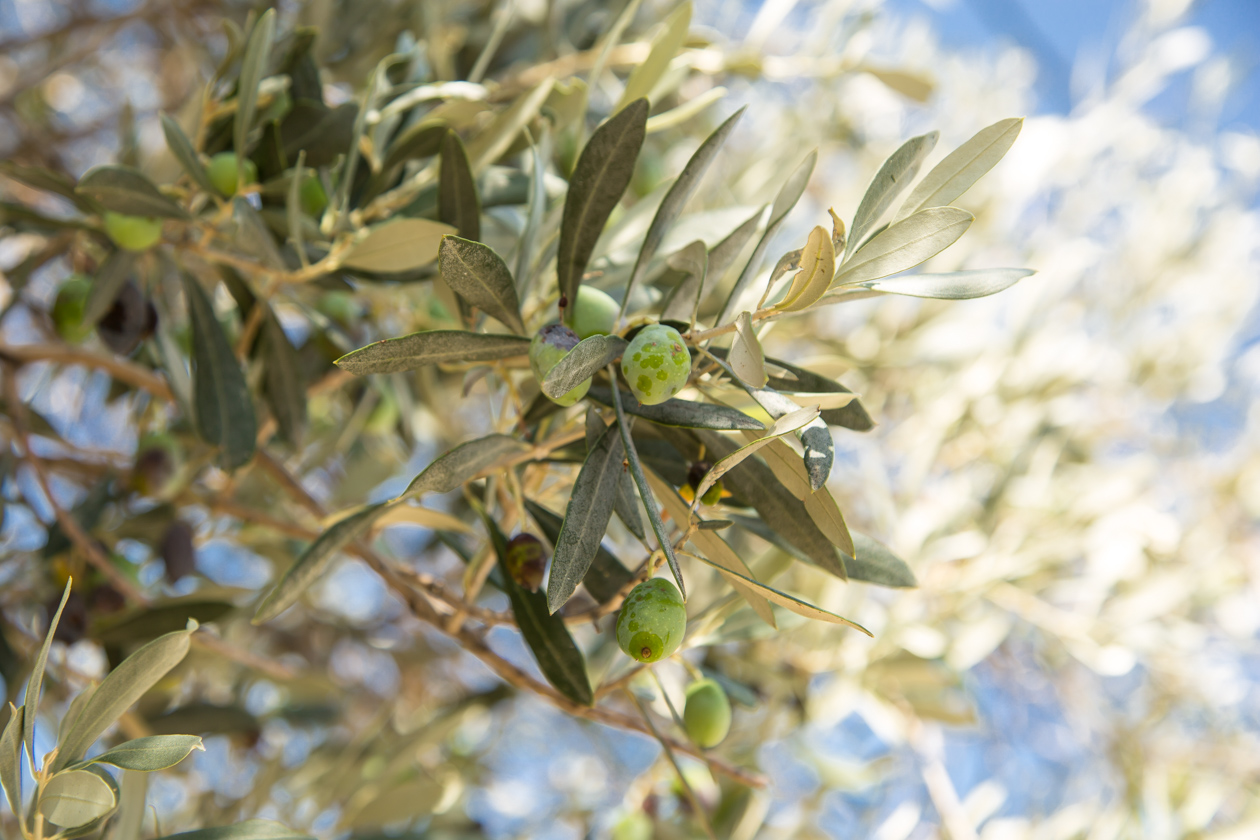 kreta-olijven
