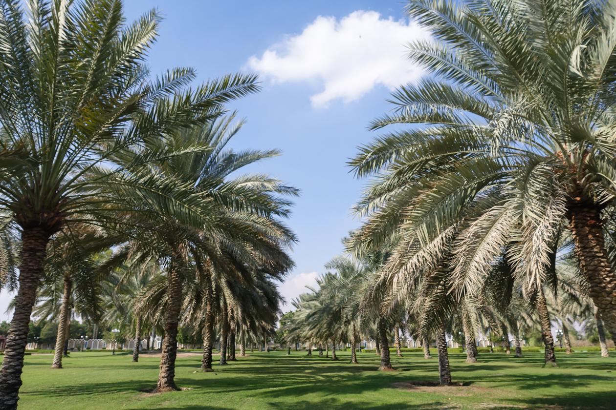 al-ain-palmen-in-park