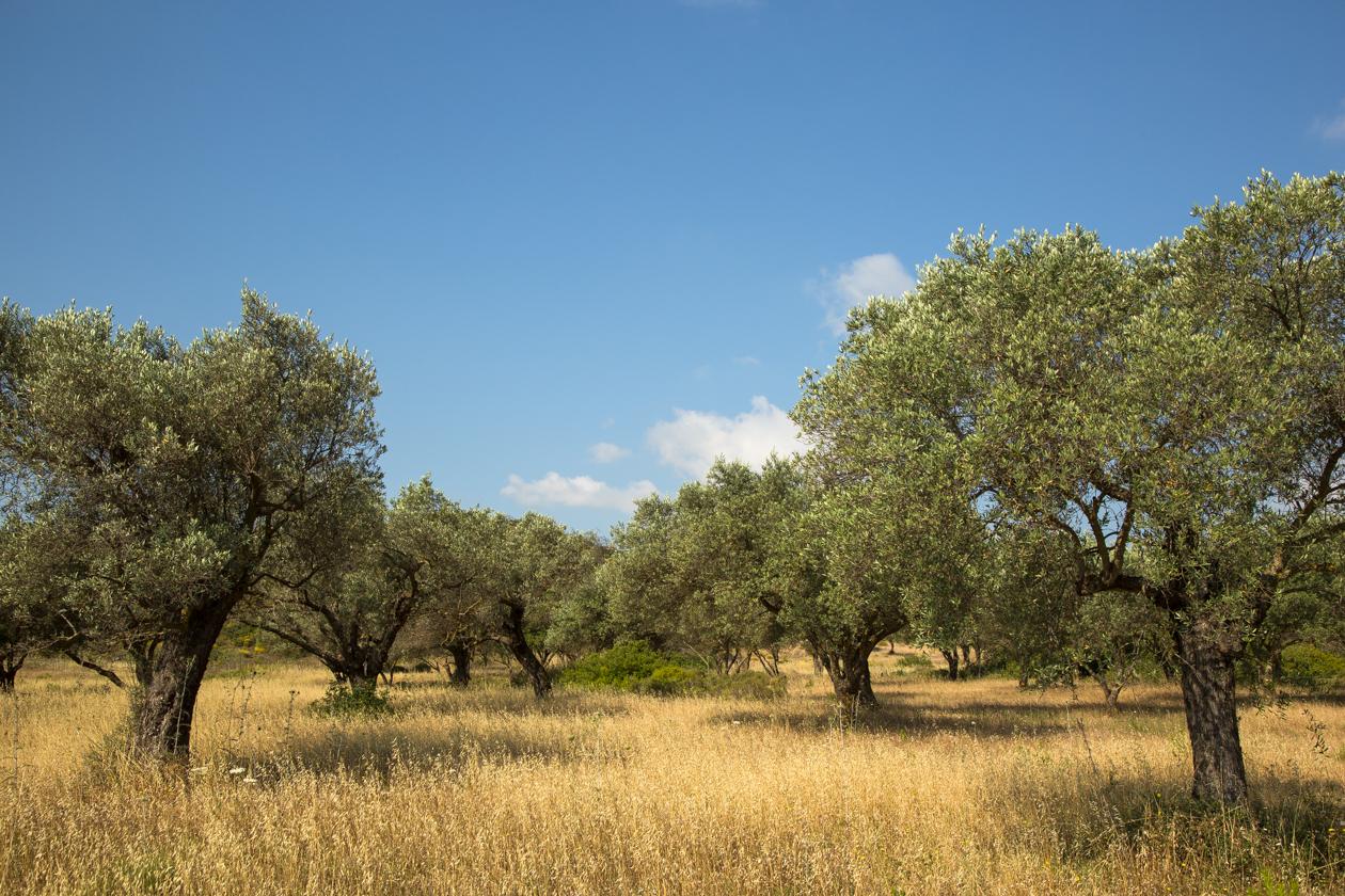 rhodos-olijfbomen
