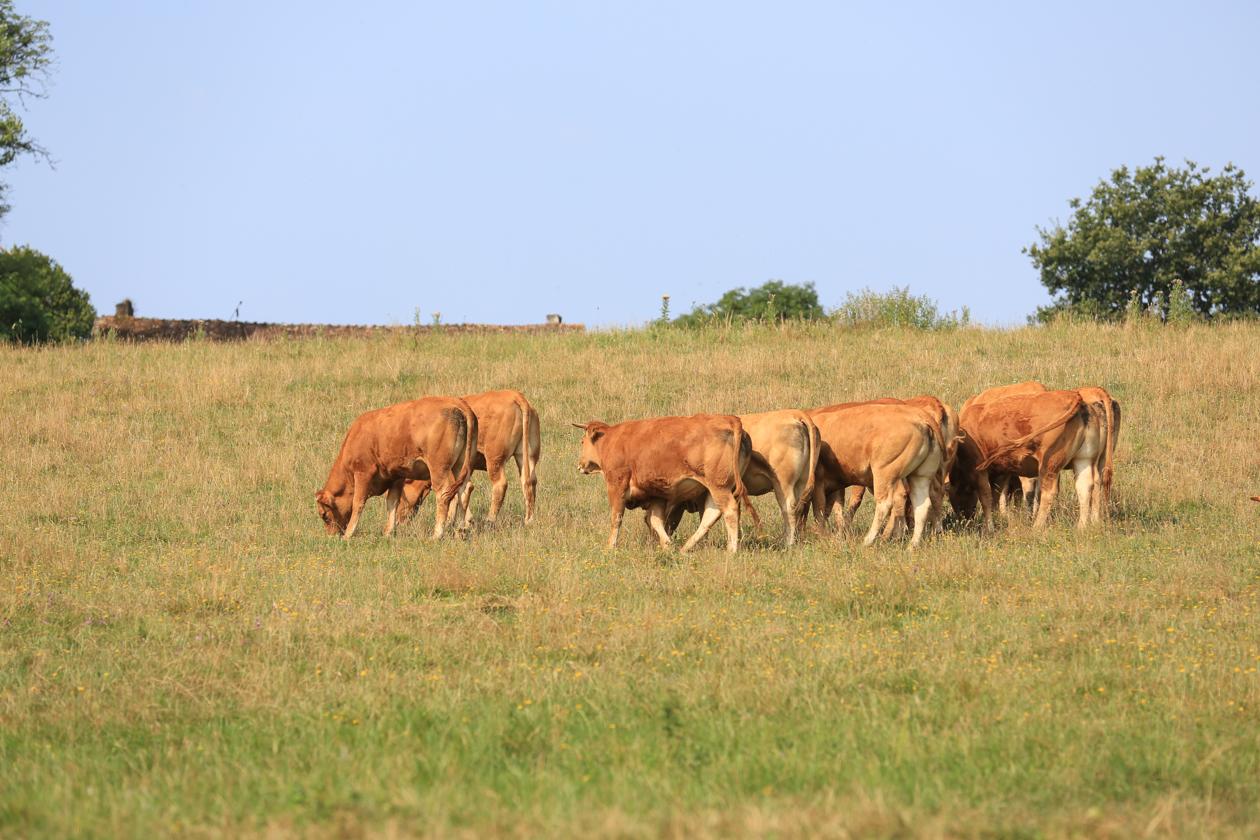 lafragne-koeien