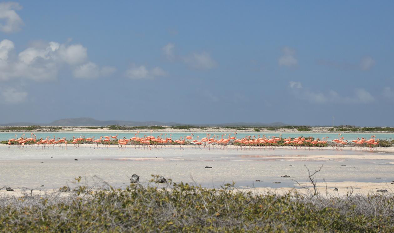 bonaire-flamingos