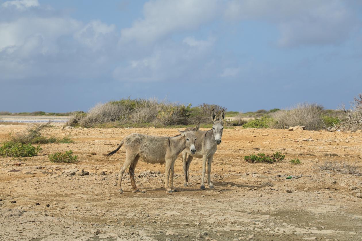 bonaire-wilde-ezels
