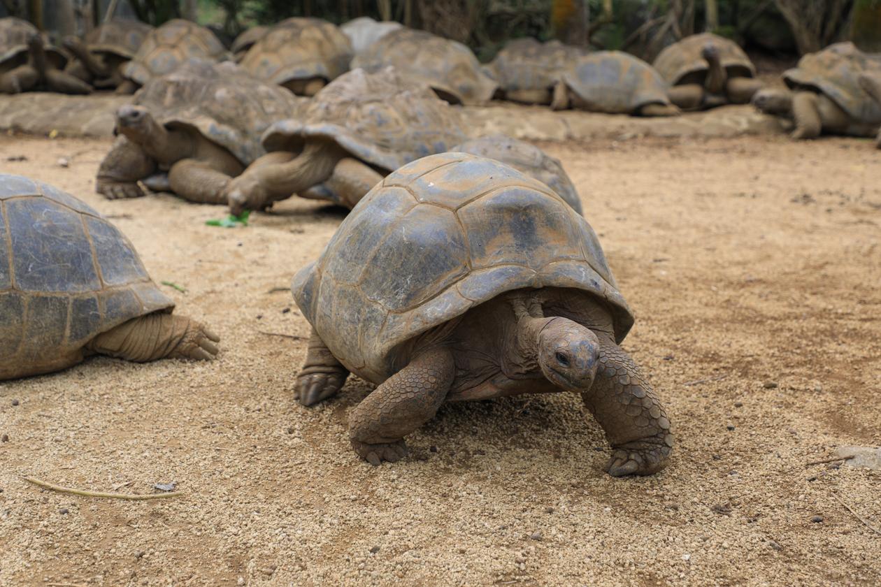 mauritius-reuzenschildpad