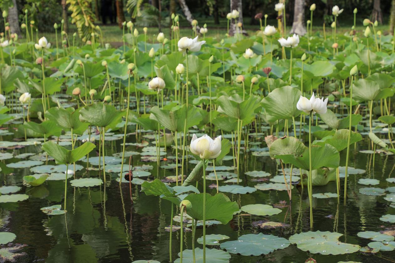 mauritius-ssr-botanical-garden